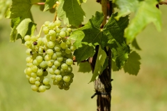 Hofer Weinbau
